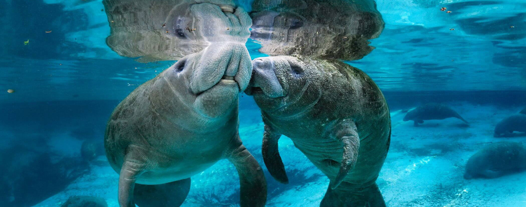 manatees-in-port-canaveral